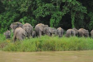 Borneo Excursions Borneo Pygmy Elephant