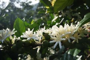 Liberica Blossoms
