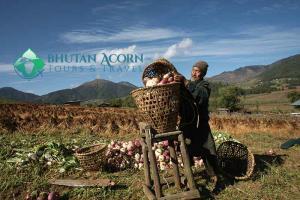 A farmer harvesting turnip in Phobjikha valley, Bhutan