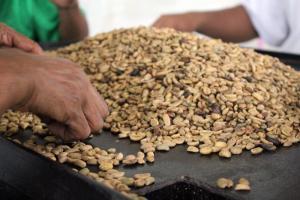 Liberica coffee sorting