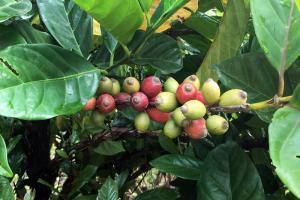 Liberica coffee fruits